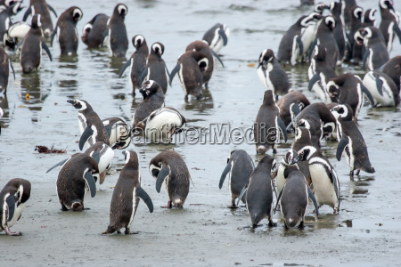 pinguine an der kueste in chile