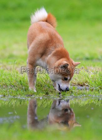 shiba inu dog retrive a stick
