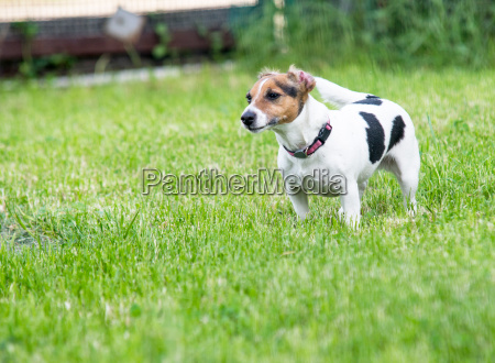 jack russell terrier on grass