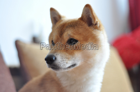 close up on young shiba inu