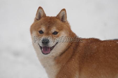 happy shiba inu dog on snow