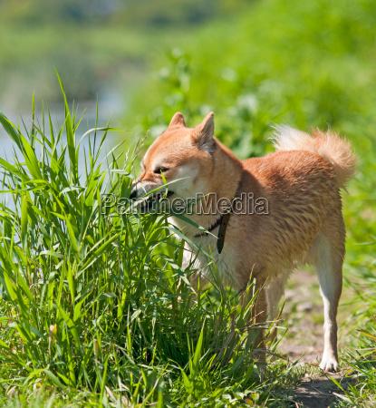 shiba inu dog eat grass