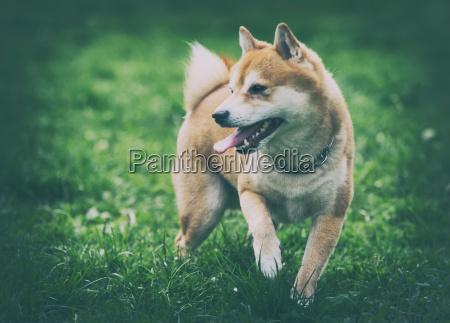 vintage photo of shiba inu dog