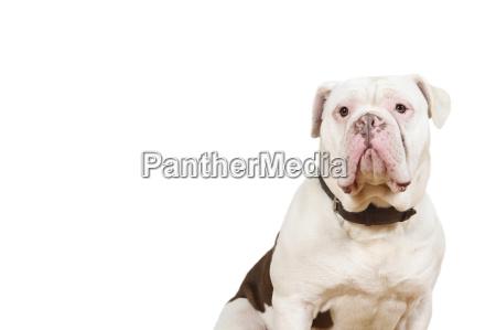 old olde english bulldoge sitzt und