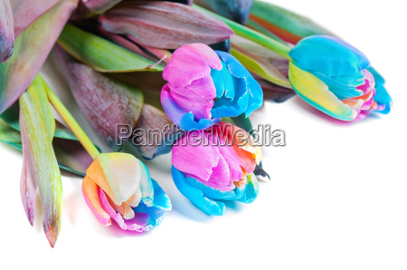 unusual multicolored tulips