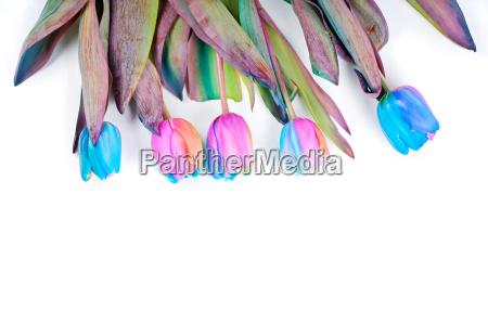 unusual rainbow tulips for border or