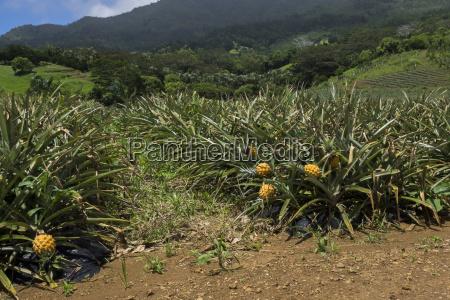 ananasplantage auf mauritius