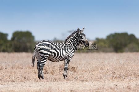 zebra in der savanne von kenia
