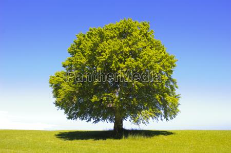 buche als einzelbaum im sommer