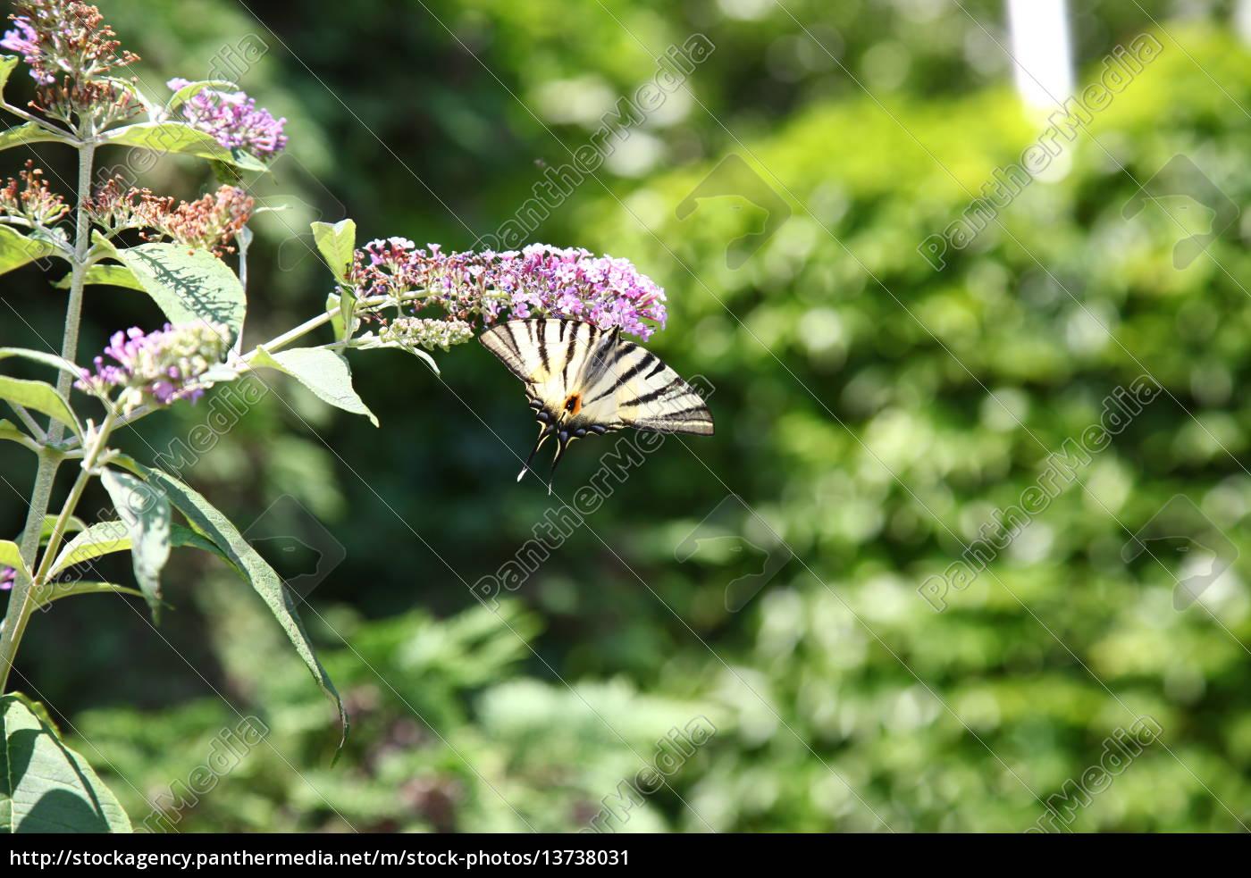 Schmetterling, Pflanze, Pflanzen, Tier, Falter, bestäuben - 13738031