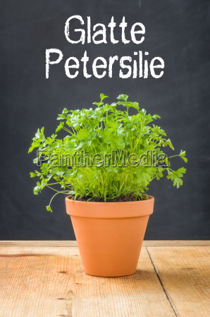 smooth parsley in a clay pot
