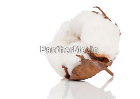 cotton pflanze