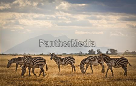 zebraherde auf ebenen von amboseli kenia