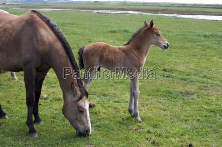 ein junges pferd fohlen filly stehen