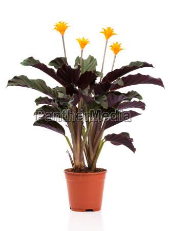 eternal flame flower calathea crocata