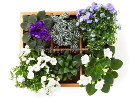 flowers top view saintpauliacampanula terryfittoniaadromischus in