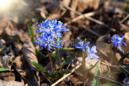sibirische blaustern blaue blueten im fruehjahr