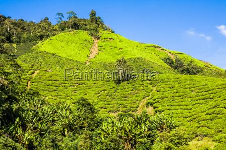 green hills of tea planation