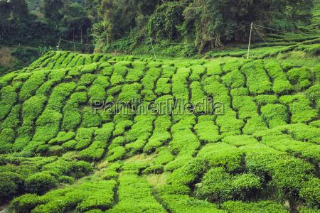 teeplantage in der cameron highlands malaysia
