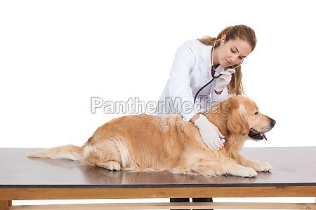 vet pruefung eines labradors herzschlag