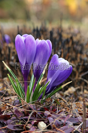 three crocus in the evening light