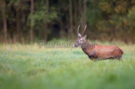 red deer in the wild in
