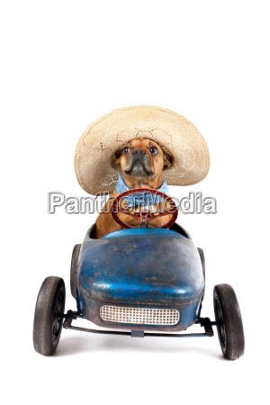 franzoesische bulldogge im tretauto