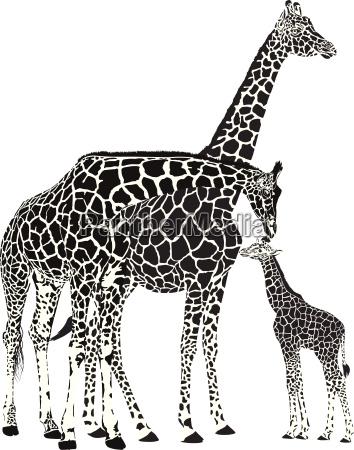 erwachsene giraffen und babygiraffe
