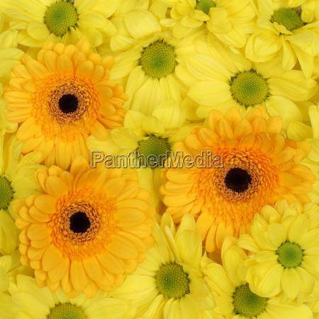 gelbe blumen chrysanthemen hintergrund fruehling oder