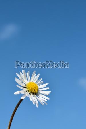 gaensebluemchen und blauer himmel im fruehling