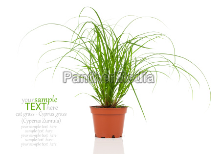 cat grass plants