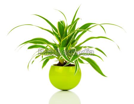 chlorophytum ist eine pflanzengattung aus der