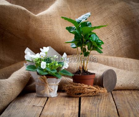 weiss saintpaulia blumen und kaffeepflanze baum