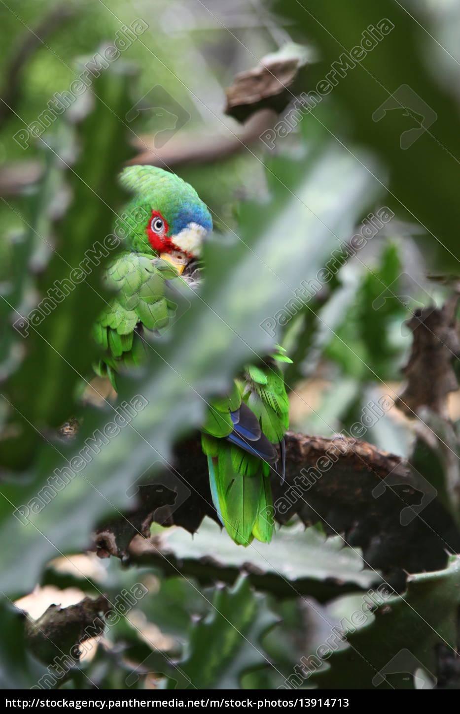 Vogel, Papagei, Kaktus, Pflanze, Tier, Federn - 13914713