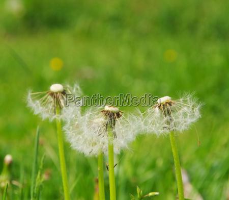 loewenzahn dandelion 33