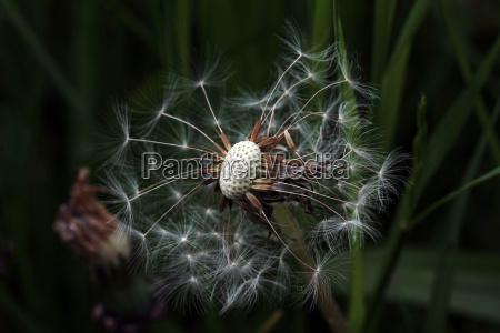 ein verbluehter loewenzahn eine pusteblume im