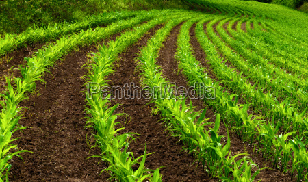 curvy rows in corn field