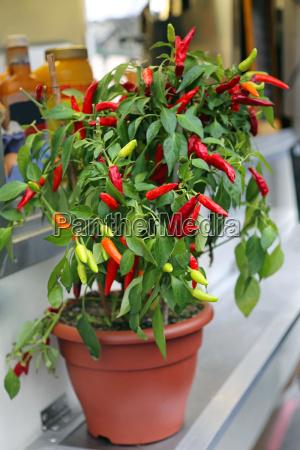 topf kraut kaennchen chilli chili pflanze