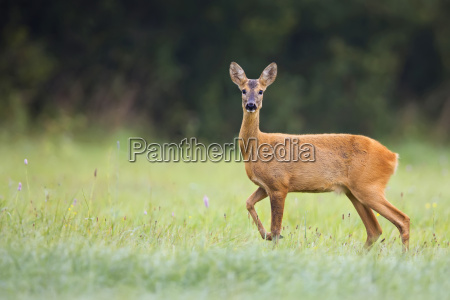 roe deer in the wild in
