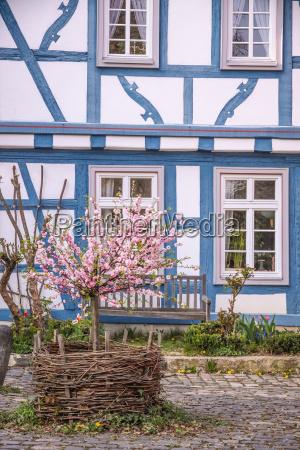 cherry blossom bush against a blue