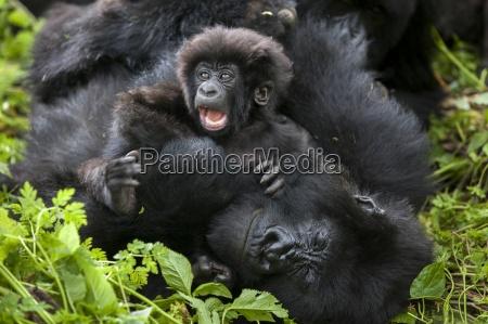 berggorillas im dschungel von ruanda virunga