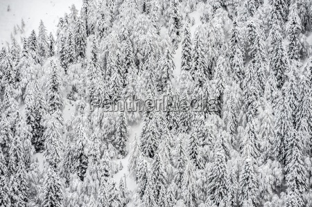 fir forest completely covered with snow