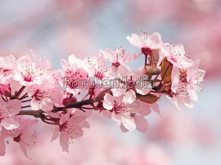 japanische kirschbluete
