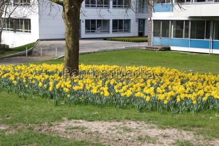 gelbe osterglocken in einem park