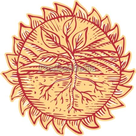 pflanzenwurzeln feldsonnentradierung