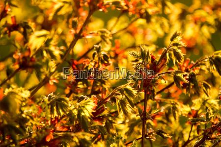 maple maple flowers