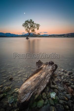 einsamer baum am lake wanaka in