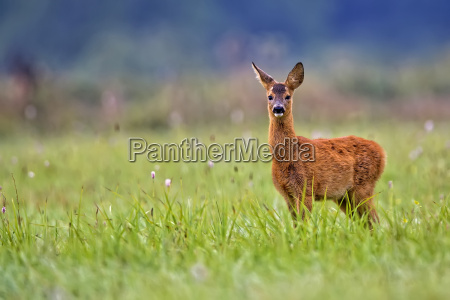 baby roe deer in the clearing