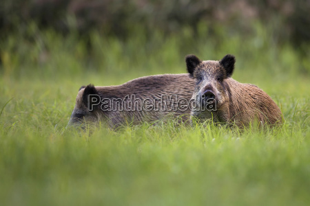 wild boars in the wild in