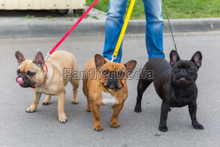 drei haushunde franzoesisch bulldog rasse